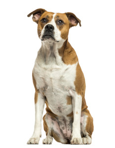 http://www.dreamstime.com/stock-photo-american-bulldog-sitting-isolated-white-image34780200