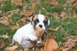 http://www.dreamstime.com/royalty-free-stock-images-miniature-english-bulldog-puppy-image27323399